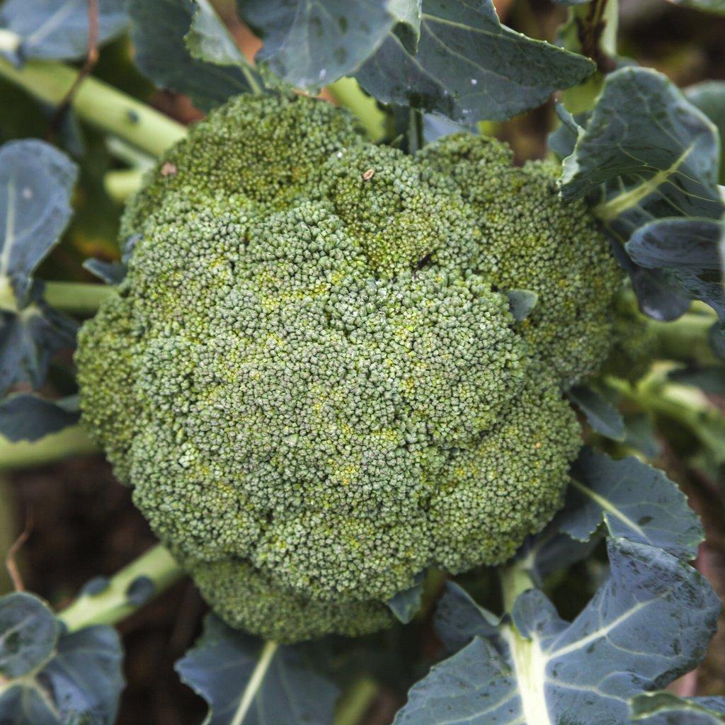 Brocolis annuels (Brassica oleracea var. botrytis) 'Vert calabrais'