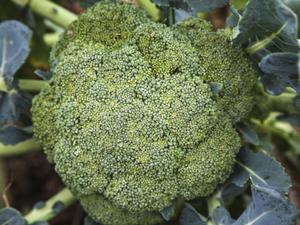 Multiplication du brocoli
