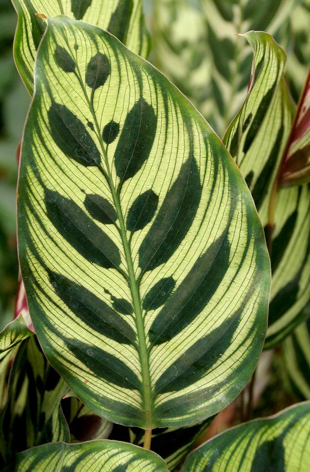 calathea   planter et cultiver  u2013 ooreka