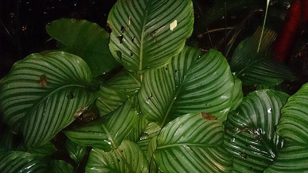 Calathea planter et cultiver ooreka for Maladie plante verte