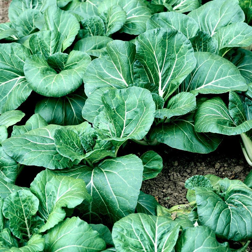 Chou chinois planter et cultiver ooreka - Plante longue feuille pointue ...