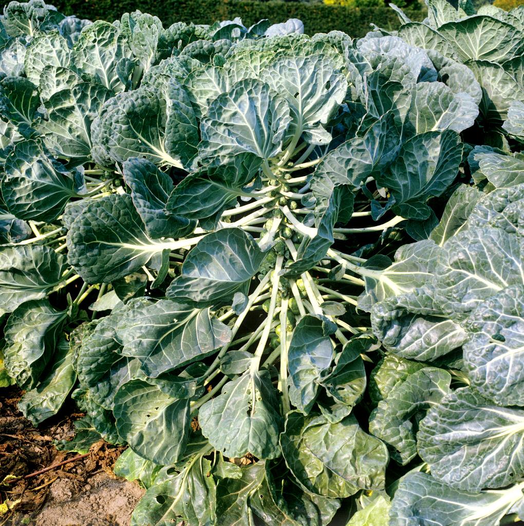 Chou de bruxelles planter et cultiver ooreka for Plantes belgique