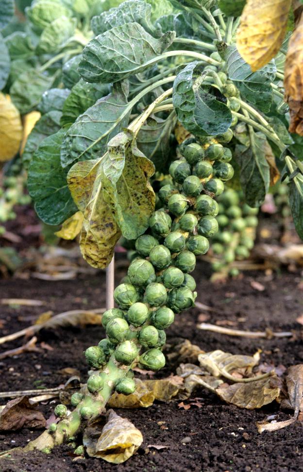 Chou de bruxelles planter et cultiver ooreka - Planter des choux de bruxelles ...