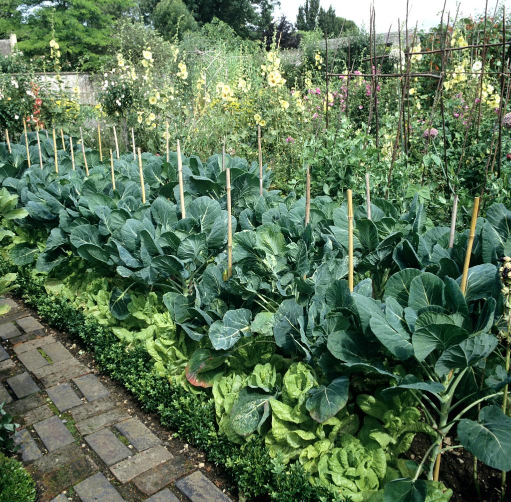 Chou de bruxelles planter et cultiver ooreka for Culture des jardins