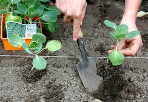 Semis et plantation des choux de Bruxelles