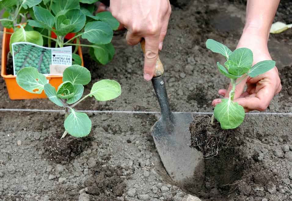chou de bruxelles : planter et cultiver – ooreka