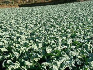 Semis et plantation du chou-fleur