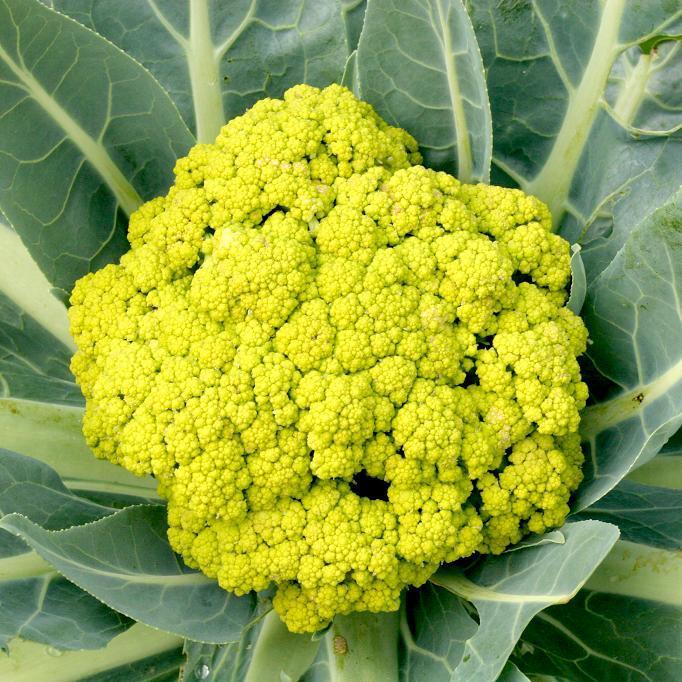 Choux-fleurs d'été-automne (Brassica oleacera var. botrytis) 'Vitaverde'