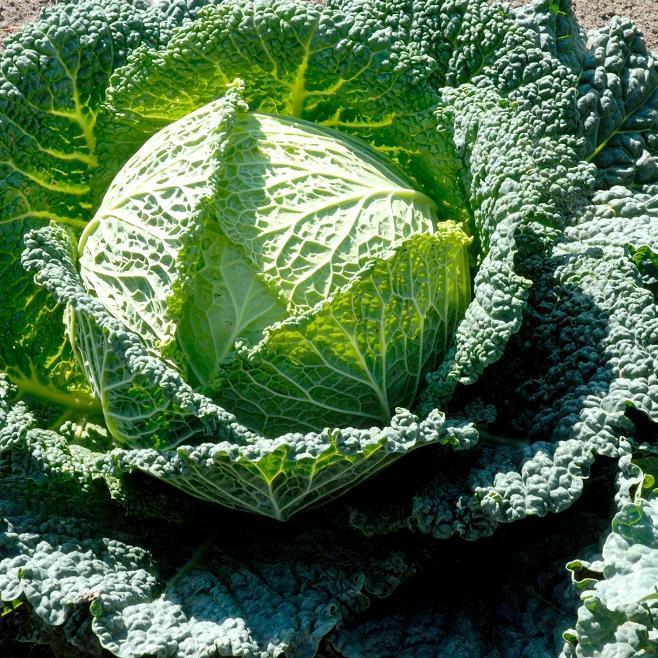 Chou de Milan (Brassica oleracea var. sabauda) 'Gros des Vertus'