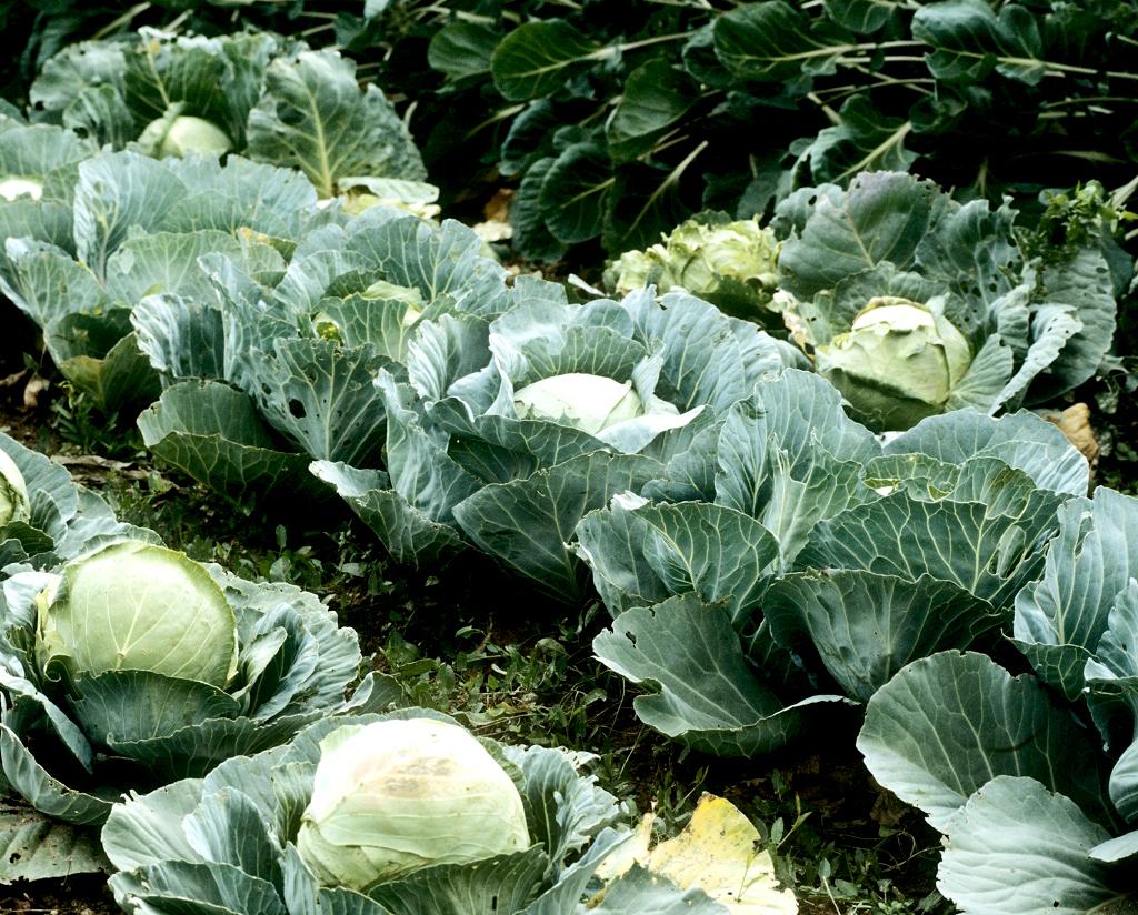 choux cabus et de milan : cultiver – ooreka