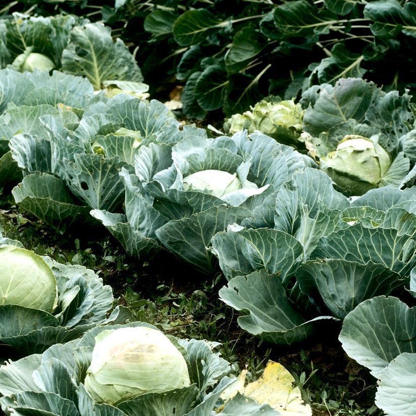 Chou cabus (Brassica oleracea var. capitata) 'Quintal d'Alsace'