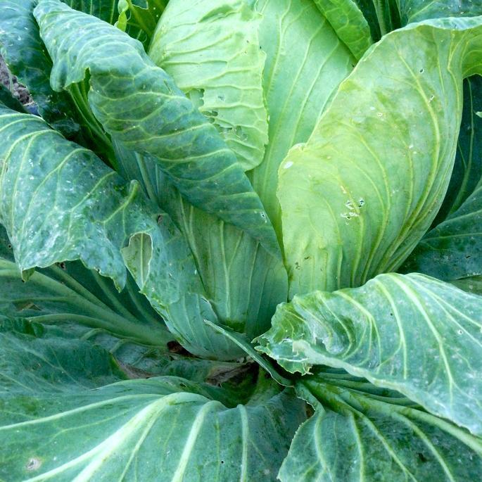 Chou cabus (Brassica oleracea var. capitata) 'Pointu de Château-Renard'