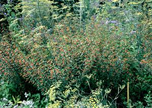 Semis et plantation du cuphea