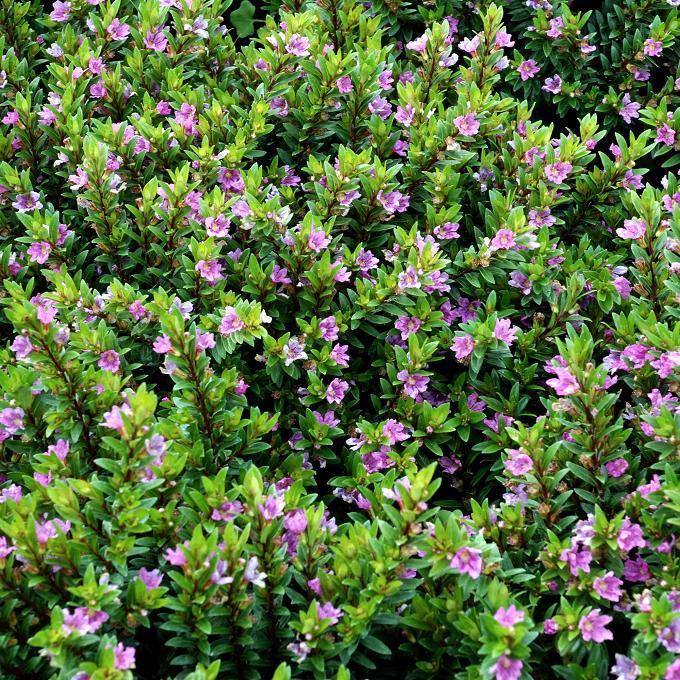 Cuphea à feuilles d'hyssope ou Étoile du Mexique (Cuphea hyssopifolia)