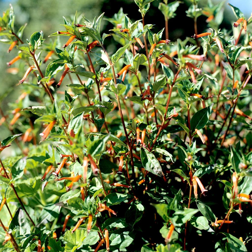 Cuphea à éperon ou Plante cigarette (Cuphea ignea ou platycentra)