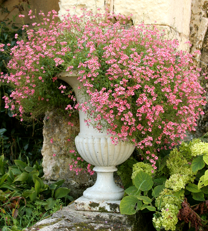 Diascia : planter et cultiver – Ooreka