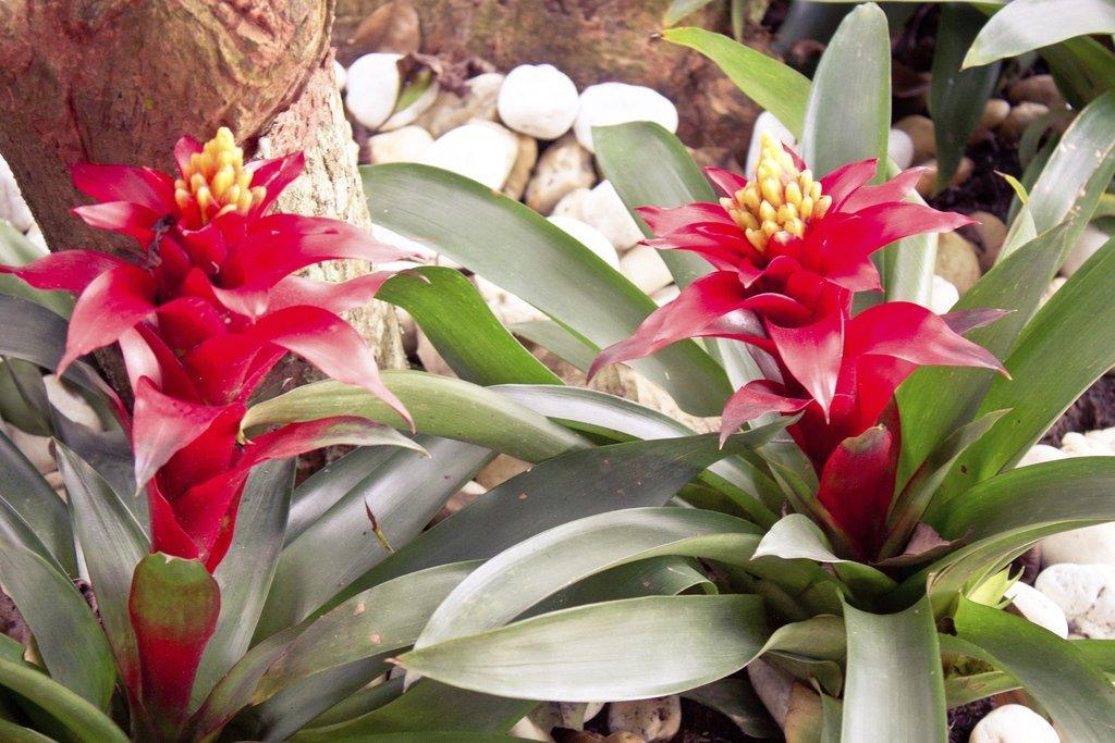 Guzmania planter et cultiver ooreka for Plante bromelia