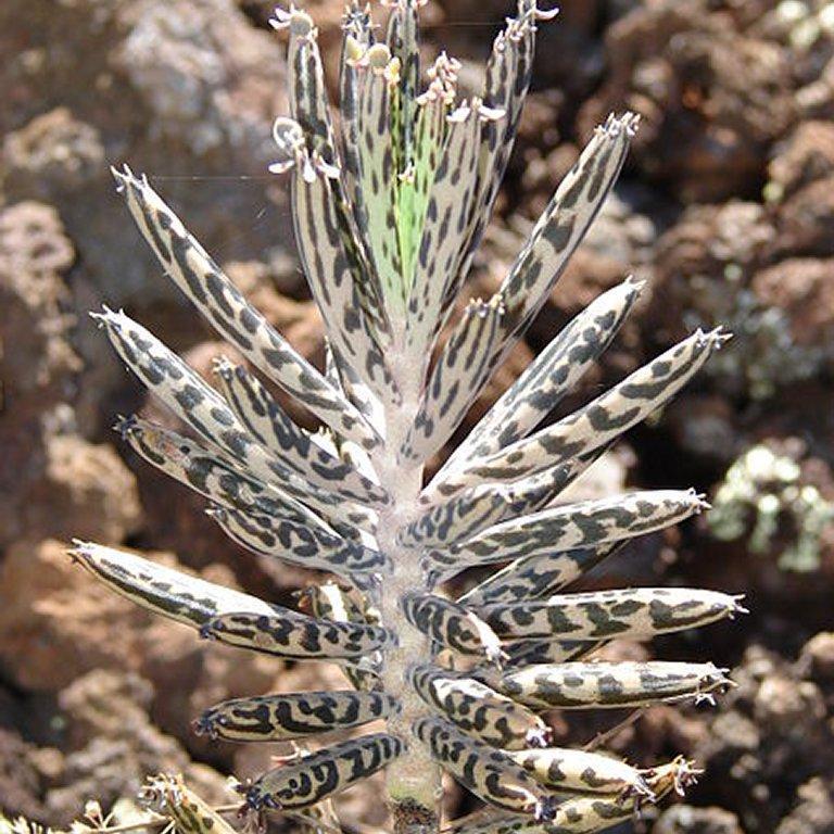 Kalanchoé plante chandelier (Kalanchoe tubiflora)
