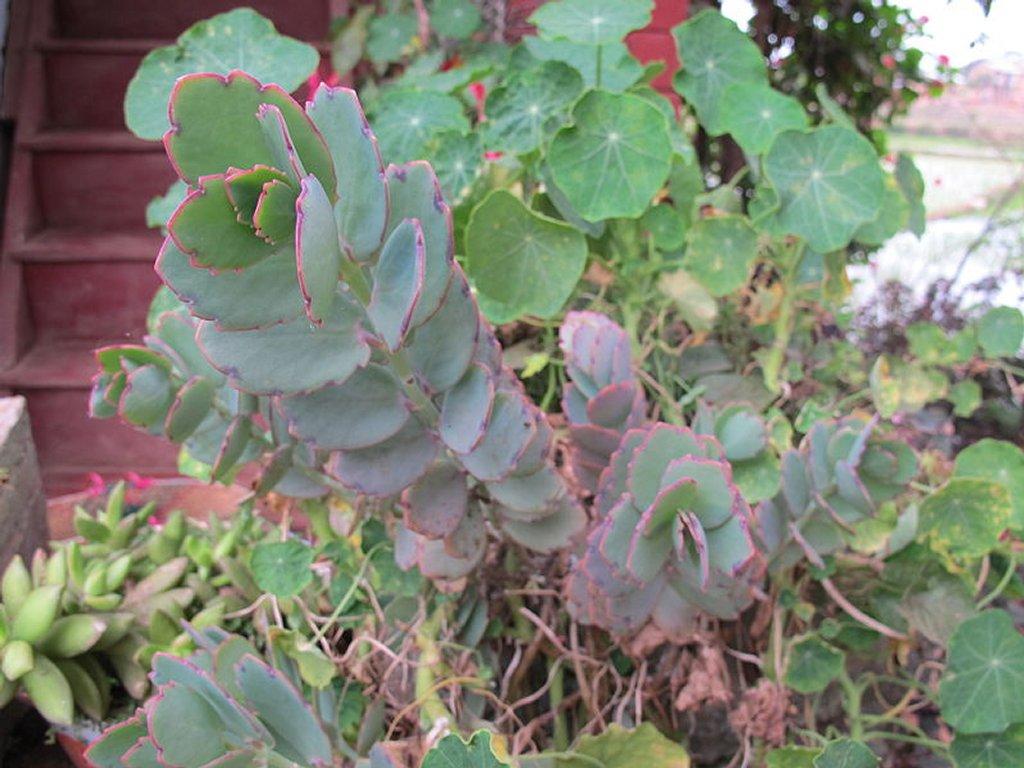 Kalancho planter et entretenir ooreka for Plante synonyme