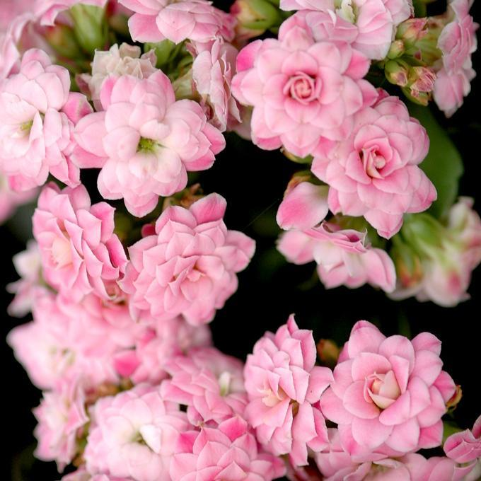 Kalanchoé de Blossfeld (Kalanchoe blossfeldiana)
