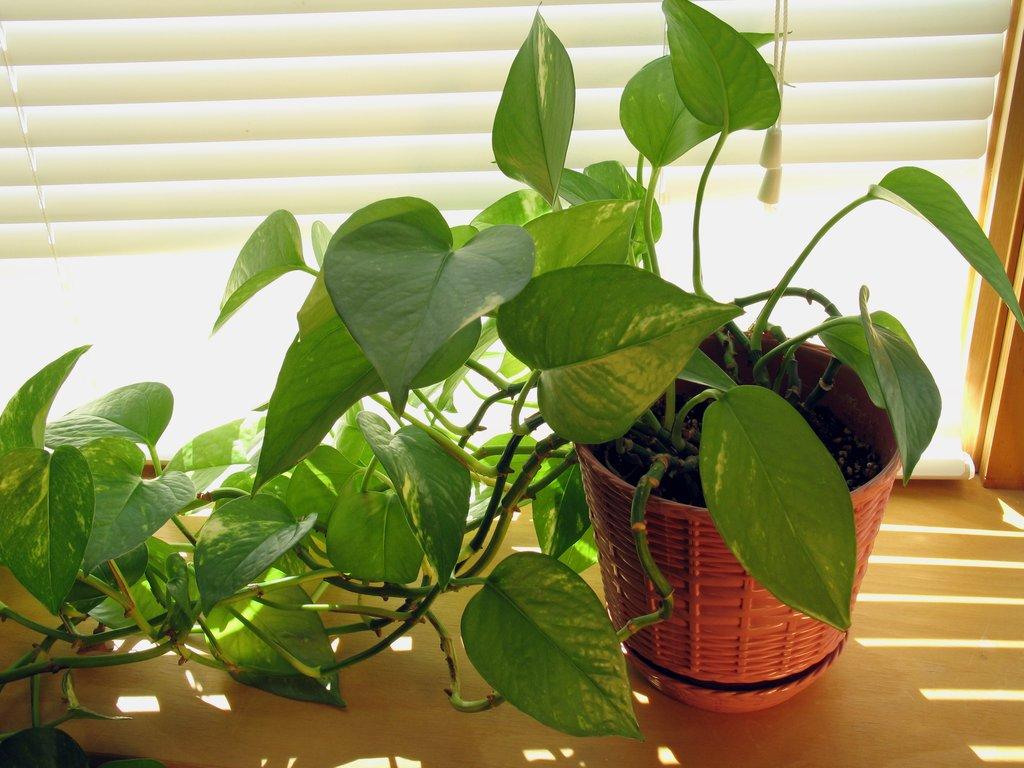 Pothos planter et bouturer ooreka for Maladie plante verte