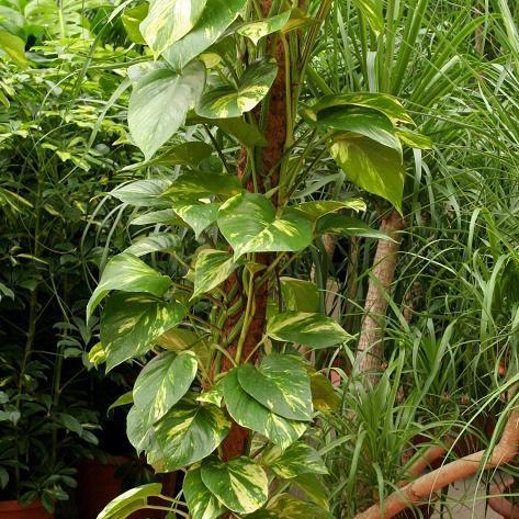 Arum grimpant, pothos doré, Lierre du diable, Philodendron géant (Scindapsus aureus)