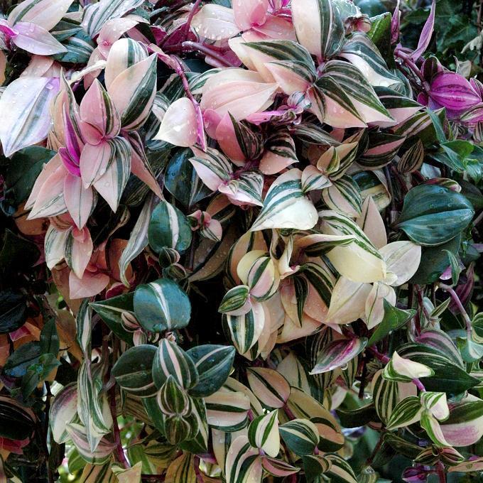 Non rustique Éphémère de Blossfeld (Tradescantia blossfeldiana)