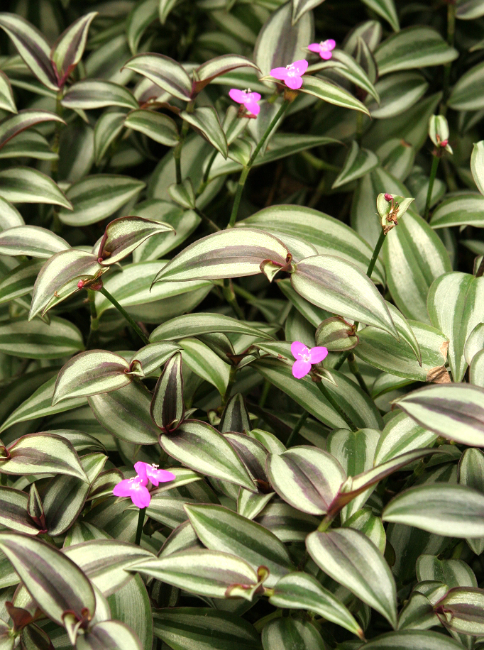 Tradescantia planter et cultiver ooreka for Plante rampante
