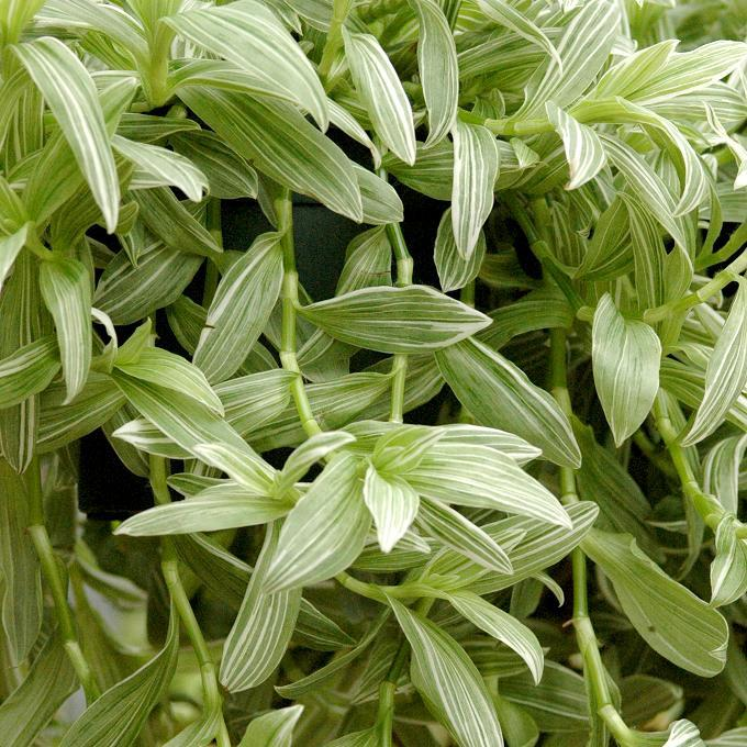 Non rustique Tradescantia albiflora