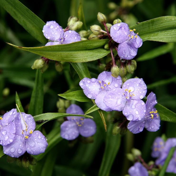 Rustique Éphémère de Virginie (Tradescantia andersoniana ou virginiana)