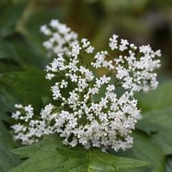 Arum planter et entretenir comprendrechoisir - Geranium gele a combien ...