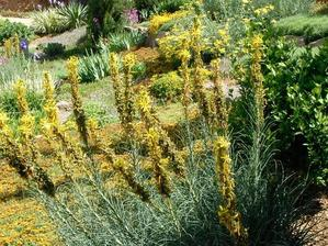 Semis et plantation de l'asphodéline jaune
