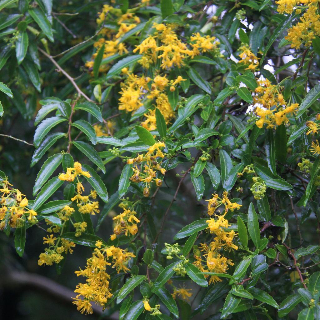 Azara lanceolata Espèce type