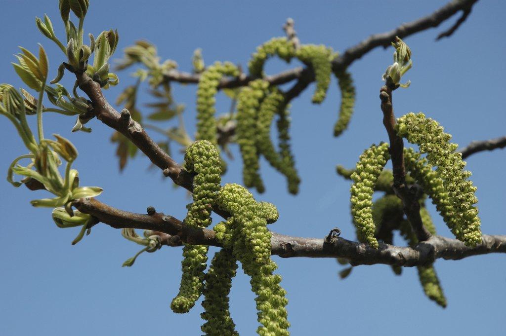 Noyer planter et tailler ooreka - Taille du pecher au printemps ...
