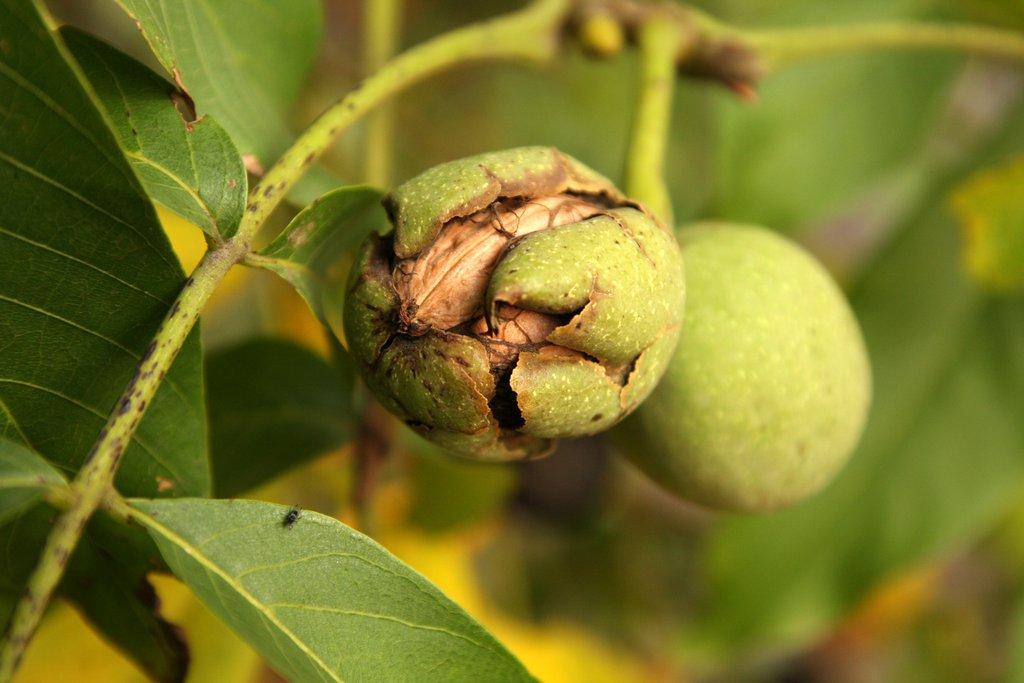 Noyer planter et tailler ooreka - Distance plantation arbre maison ...