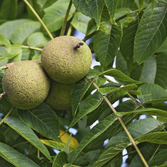 Variétés à bois uniquement Noyer noir ou Noyer d'Amérique (Juglans nigra)
