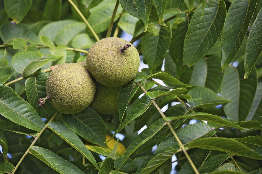 noyer : planter et tailler – ooreka