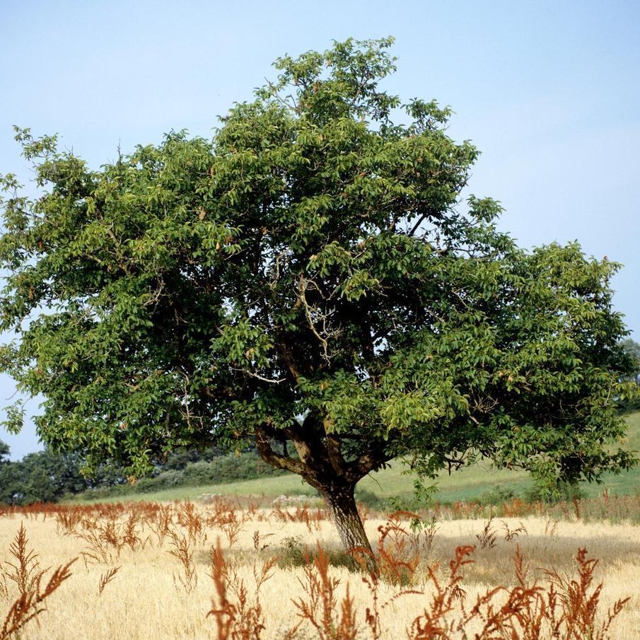 Variétés traditionnelles (variétés de Juglans regia) 'Marbot'
