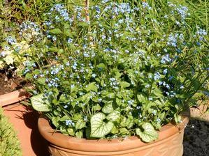 Semis et plantation de Brunnera macrophylla