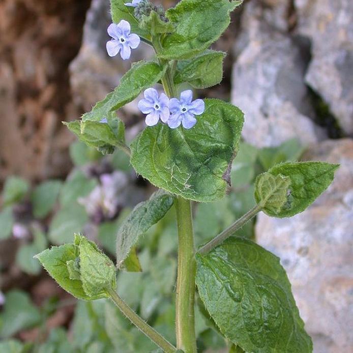 Brunnera orientalis Espèce type