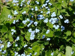 Culture et entretien de Brunnera macrophylla