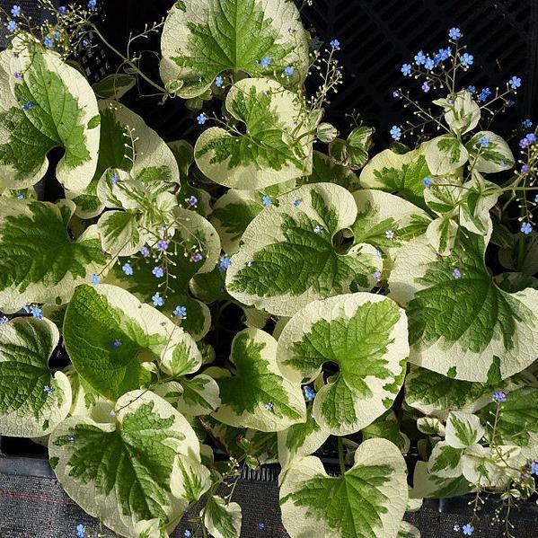 Brunnera macrophylla 'Dawson's White' (syn. 'Variegata')