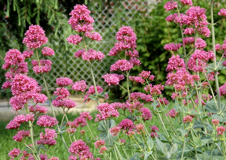 Centranthe planter et cultiver ooreka - Ou planter la rhubarbe dans le jardin ...