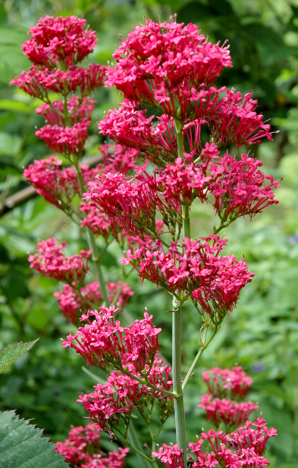 Centranthe planter et cultiver ooreka for Plante fausse