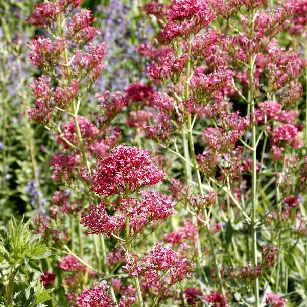 Centranthus ruber Var. coccineus