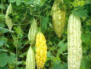 Culture et entretien du concombre
