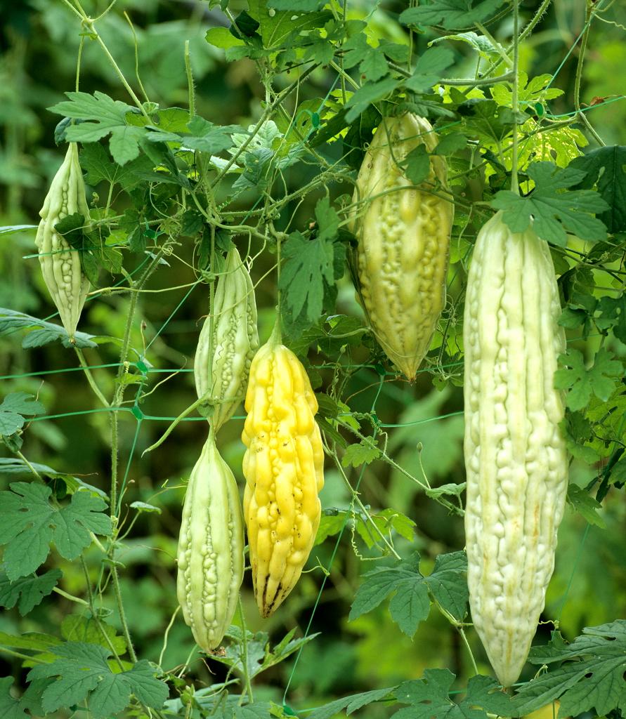 Concombre : planter et cultiver - Ooreka