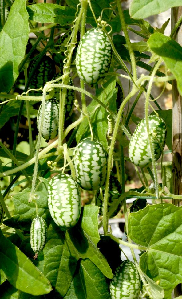 Conbre   planter et cultiver