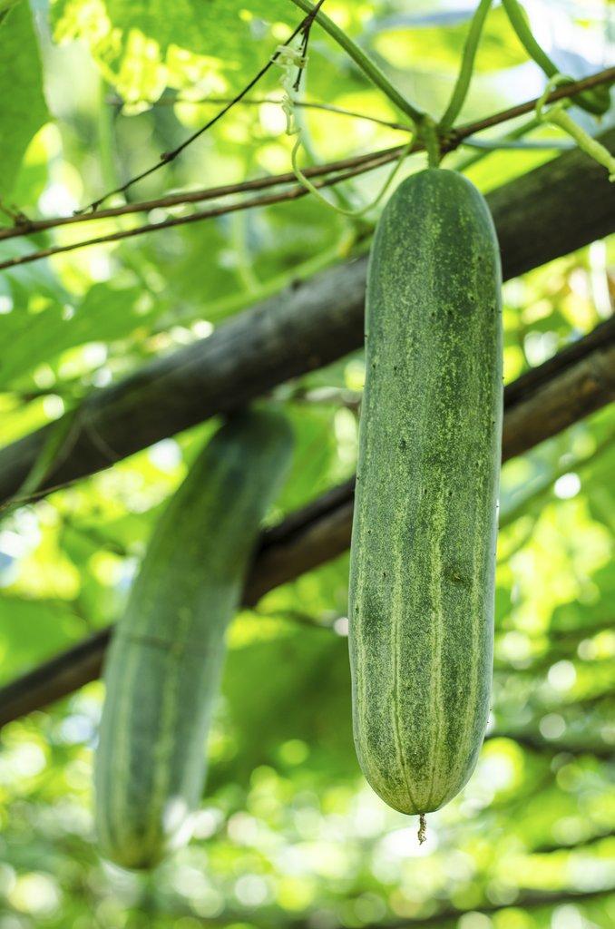 concombre   planter et cultiver  u2013 ooreka