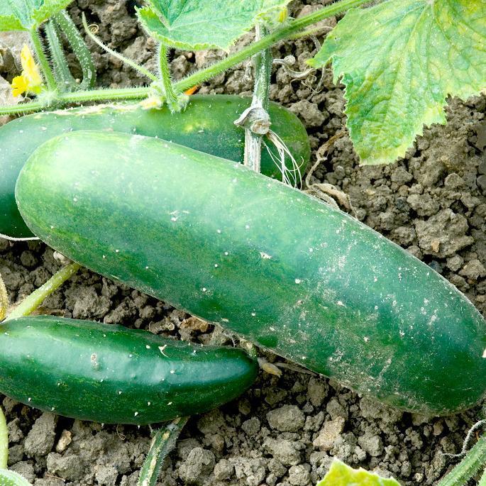 Concombre planter et cultiver ooreka - Quand cueillir les citrons ...